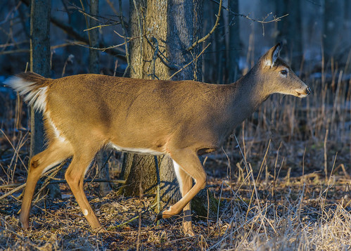White Tail Deer - 9076
