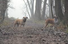 My dogs (mikdm1) Tags: lovedog mydogs mydog dogphotography dogpotrait dog boxerdog boxer amstaff