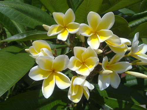 Plumeria Report 25 May 2011