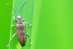 Reed Beetle - Donacia simplex (Lamia textor) Tags: macro bug insect nikon beetle vr coleoptera 105mm