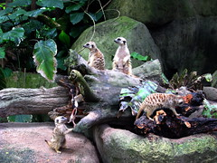 Marmots....not.. apparently meerkats (wantunn) Tags: zoo marmots singaporezoologicalgardens canons5is