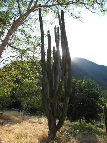 Kaktus i soluppgangen