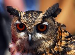 Owl, Baltimore, Maryland (ozoni11) Tags: bird nature birds animal animals interestingness nikon bokeh wildlife maryland baltimore explore owl d200 29 owls interestingness29 i500 animaladdiction explore29 michaeloberman ozoni11