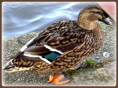 DUCK (pinklady6... Home ..) Tags: november nature duck polaris naturesfinest avianexcellence theunforgettablepictures pinklady6