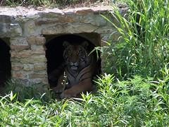 Tiger (Adventurer Dustin Holmes) Tags: nature animal animals tiger bigcat tijger tigris tigre bigcats 0000001 kaplan tigar pantheratigris  tygrys harimau tygr tiikeri     tiiger tigras tigru    teris plng            tigr