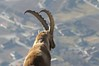 Close to the Ibex (Capra ibex) (biollaz) Tags: mountain alps montagne alpes switzerland suisse wallis valais supershot abigfave
