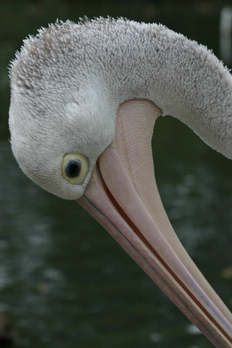 Pelican at the Cleland Cons. Park.