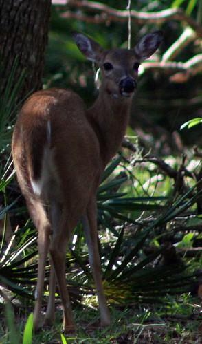 deer crop 2