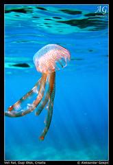 Close Encounter (TranceVelebit) Tags: blue sea jellyfish underwater more jelly adriatic jadran meduza dugiotok