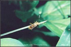 -1210-04 () Tags: macro insect nikon flickr wesley makro biology flick chen ntnu     lifescience howen nationaltaiwannormaluniversity     chenhowen    lifesceince wesleychen