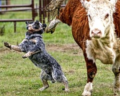 Flying Hoof Meets Cattle Dog (zingpix) Tags: blue red usa dog dogs jeff washington all cattle  australian explore rights queensland jeffrey australiancattledog soe reserved heeler acd bestinshow redheeler blueheeler herding allrightsreserved shieldofexcellence zingpix jeffjaquish jaquish jeffreyjaquish