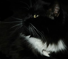 Kitty Fills My Heart with Love (ShawnXian (Busy Healing!)) Tags: bw love beauty blackbackground cat chat gorgeous kitty grace tuxedo gato blackground simplicity wisdom elegant mb elegance onblack shawnxian bestofcats byshawnleimbach