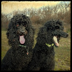 The D. Twins (Steffen Jakob) Tags: dog black animal geotagged hund poodle tier standardpoodle darius pudel darleen zerberus knigspudel permpublic geo:lat=48271111 geo:lon=16366453