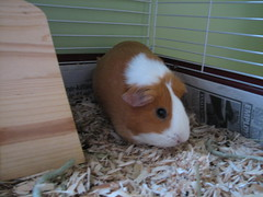 Cinnamon (zoelukas) Tags: pets ted buzz clyde guineapig oliver cinnamon bruce nougat clover weebles