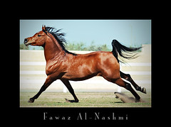 baitalarab   (Fawaz Al Nashmi) Tags: horse art animal photo photographer head arab excellent kuwait awards stallion fawaz    blueribbonwinner   funzy       impressedbeauty   betterthangood  alnashmi  funzyclick baitalarab