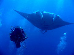 Giant Manta Ray (damps) Tags: blue underwater unique dive bubbles scuba diver maldives manta damp blueribbonwinner bandos mantapoint top20fish damps goldstaraward alemdagqualityonlyclub