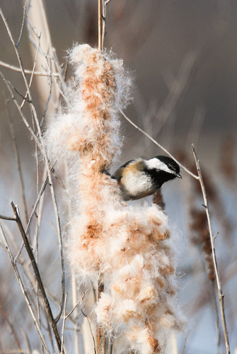 cattail fluff, great for insulating your clothes in a survival situation, and for starting a campfire