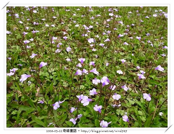 R0013269通泉草