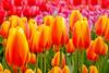 Keukenhof Tulip Garden (Souvik_Prometure) Tags: netherlands tulip soe keukenhof keukenhoff blueribbonwinner flickrsbest mywinners abigfave platinumphoto colorphotoaward aplusphoto theunforgettablepictures goldenheartaward souvikbhattacharya