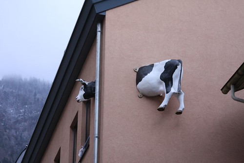Who threw the cow into the wall?