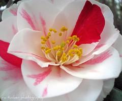 camellia, 'lady van sittart' (itucker, thanks for 2.5+ million views!) Tags: camellia excellence blueribbonwinner laflormasbella mywinners platinumphoto impressedbeauty ultimateshot diamondclassphotographer flickrdiamond theunforgettablepictures excapture macroflowerlovers ladyvansittart
