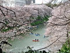 Kirschblte in Tokyo (mama knipst!) Tags: japan tokyo cherryblossom sakura