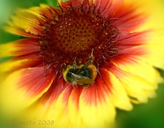 Bees Mean Spring (Roszita) Tags: red flower macro yellow closeup insect petals colours bee sunflower abigfave anawesomeshot colorphotoaward diamondclassphotographer flickrdiamond scarletrose77 betterthangood goldstaraward roszita