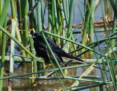 Tricolored blackbird, Agelaius tricolor