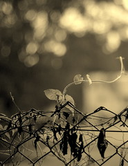Happy Bokeh Wednesday! (... Arjun) Tags: bw 15fav plant monochrome leaves sepia 1025fav 510fav fence wednesday happy 50mm leaf nikon singapore asia dof cheery bokeh grain content monotone 100v10f glad lucky d200 grainy cheerful f18 joyful toned 2008 bukittimah filmgrain jovial pleased fortunate contented ecstatic ruleofthirds delighted blissful 50mmf14d exultant inhighspirits oncloudnine hbw opportune bokehlicious bokehwednesday happybokehwednesday favourable