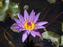Purple Lotus (DSCN1136) (Li-Ji) Tags: flowers waterlily purple lotus 10 taiwan taipei flowert tpbg flowersarefabulous myfavorflower