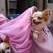 チワワ:Chihuahua_16
