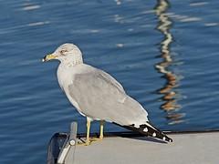 Sea Gull (akfoto) Tags: seagull