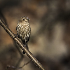 House Finch (redforester) Tags: anthonycedrone finch bird branch woods wildlife newjersey winter