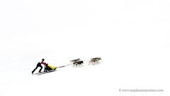 Sled dog race (My Planet Experience) Tags: siberian husky sled dog race racing musher mushing pulka pulk running snow snowdog winter sledge sleigh alaska yukon siberia myplanetexperience wwwmyplanetexperiencecom white