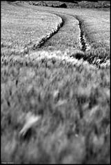 Coulans sur Gée (Sarthe) (gondardphilippe) Tags: coulanssurgée sarthe maine paysdelaloire champs noiretblanc blackandwhite nature monochrome