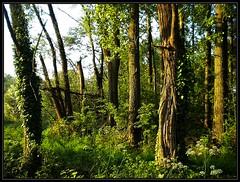 Enchanted forest (vera-K) Tags: wood trees alberi forest bomen rboles arbres bosque bos wald foresta woud bumen lafort