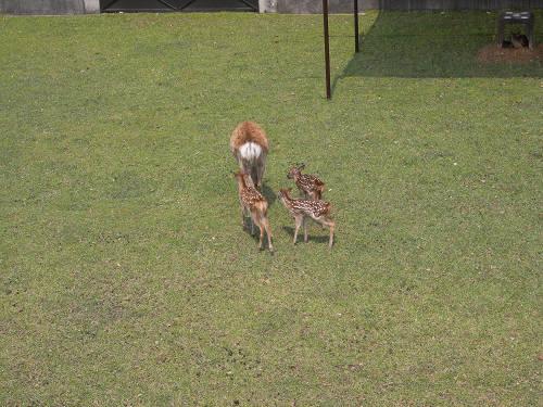 母子鹿の特別公開@鹿苑角きり場-12