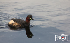 Little Grebe -   (AnoooooooD) Tags: lake bird nature water swim duck kuwait anood aljahra redeye313