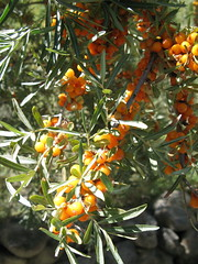 Goji berries, Chapursan Valley
