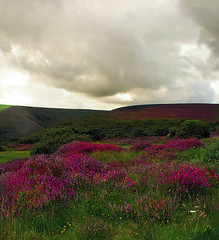 Exmoor (torimages) Tags: uk daisies countryside nationalpark colours atmosphere sd allrightsreserved exmoor buttercups isawyoufirst redandgreenhills donotusewithoutwrittenconsent copyrighttorimages