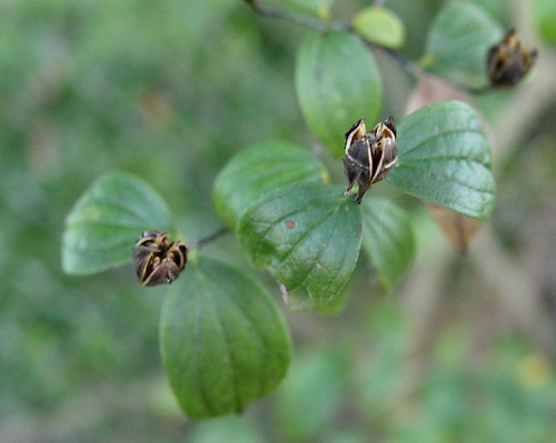 English Dogwood Seed