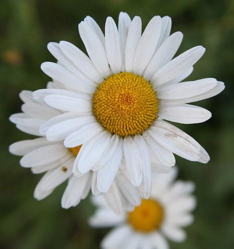 Daisy upon daisy upon daisy