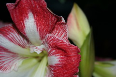 Amarillas2 (augustbell) Tags: red flower macro vivid amarillas naturesfinest fantasticflower magicofaworldinmacro macromarvels goldstaraward