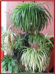 Hanging pots of Chlorophytum comosum and Chlorophytum laxum 'Bichetti' in our garden, Jan 2008