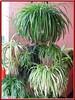 Chlorophytum comosum (Spider Plant, Variegated Spider Plant, Airplane Plant, Ribbon Plant)
