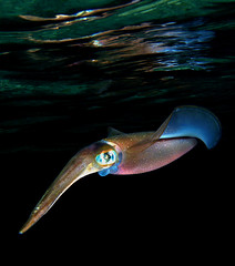 Reef squid (vanveelen) Tags: nature underwater redsea egypt sharmelsheikh diving e300 sinai nightdive squidrasummsid