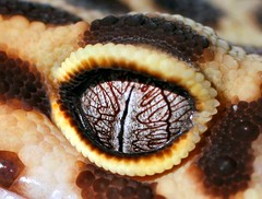 macro of my gecko's eye (rachaelwrites) Tags: macro eye animal fauna reptile lizard gecko pupil leopardgecko dialate
