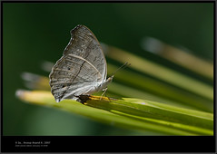 Grey pansy (Anoop Anand A) Tags: india canon butterfly pansy butterflies kerala 3a 300mm l anoop ef aaa trivandrum 14x thiruvananthapuram butterflyindia greypansy 40d canonef300mmf4lisusm anoopaa canonef14xiiextender canoneos40d kazhakoottam canon40d anoopananda anoopco wwwanoopco httpwwwanoopco