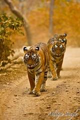 21st Jan 2008 - 64 (dickysingh) Tags: india nature outdoor wildlife tiger bigcat aditya predator ranthambore singh bengaltiger ranthambhore dicky wildtiger adityasingh ranthamborebagh theranthambhorebagh wwwranthambhorecom