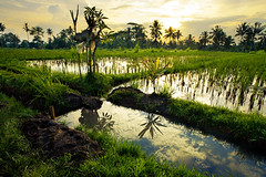 Around Ubud - Bali (Aur from Paris) Tags: travel sunset bali tree nature water colors clouds indonesia landscape bravo asia rice terraces palm fields asie ricefields indonesie paddyfields ubud canoneos5d digitalblending aur
